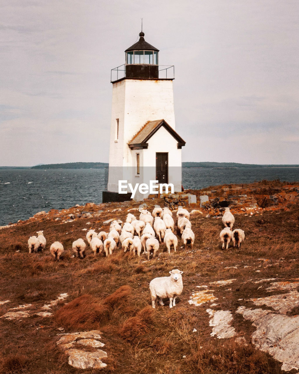 Nash island light with sheep in maine