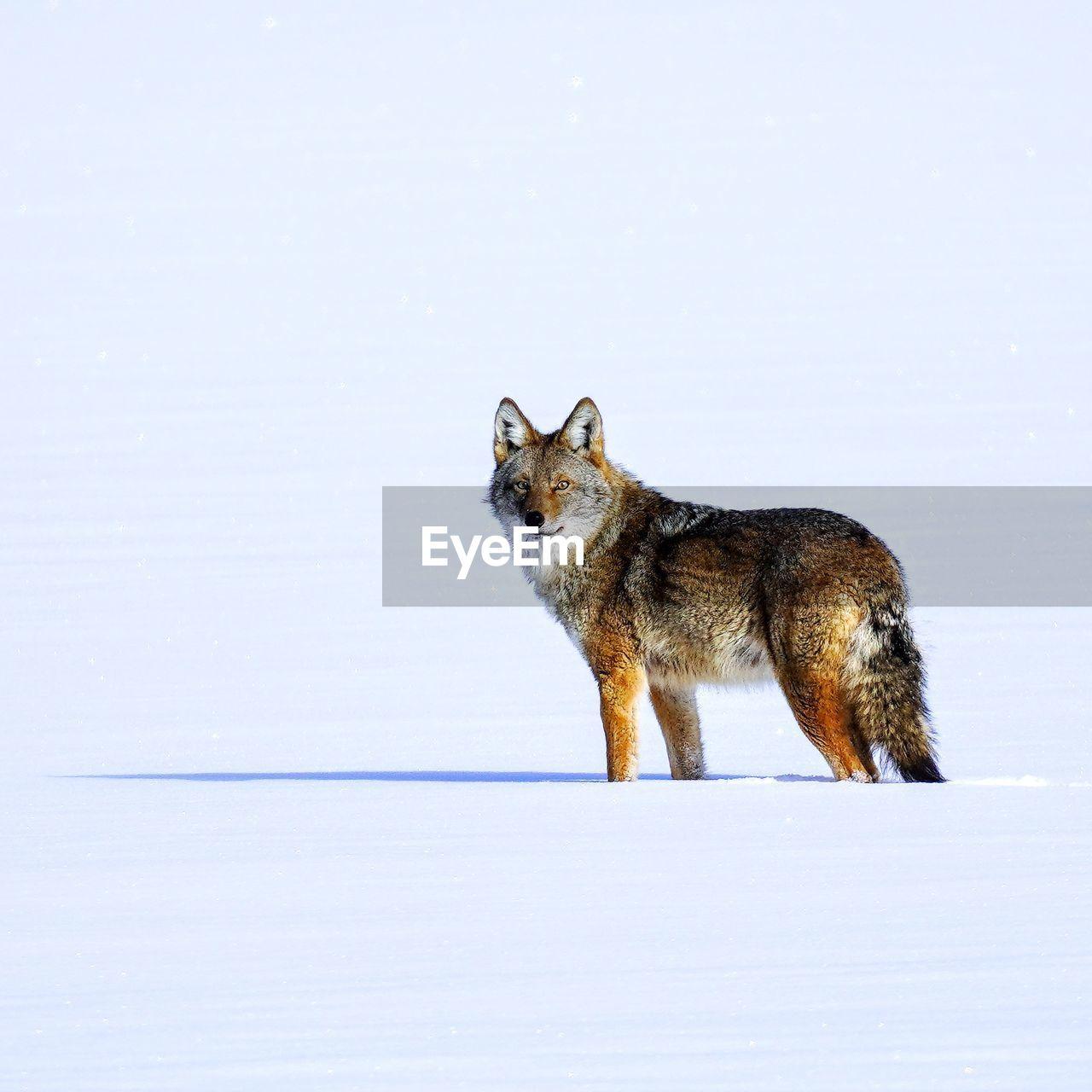 Coyote walking across a frozen lake