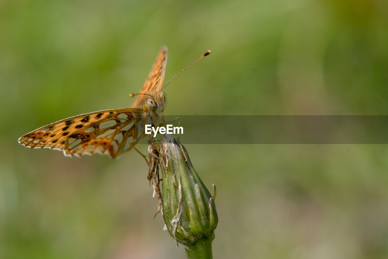 insect, invertebrate, animal wildlife, one animal, animal themes, animal, animals in the wild, close-up, animal wing, focus on foreground, plant, green color, day, beauty in nature, no people, nature, animal body part, zoology, outdoors, growth, butterfly - insect, butterfly