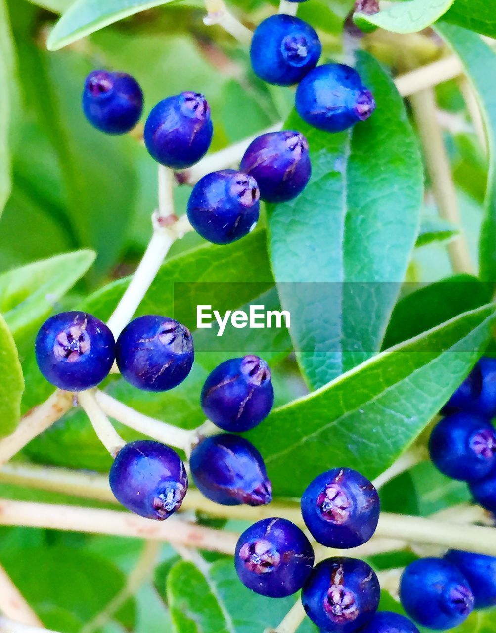 Close-up of huckleberries growing on plants