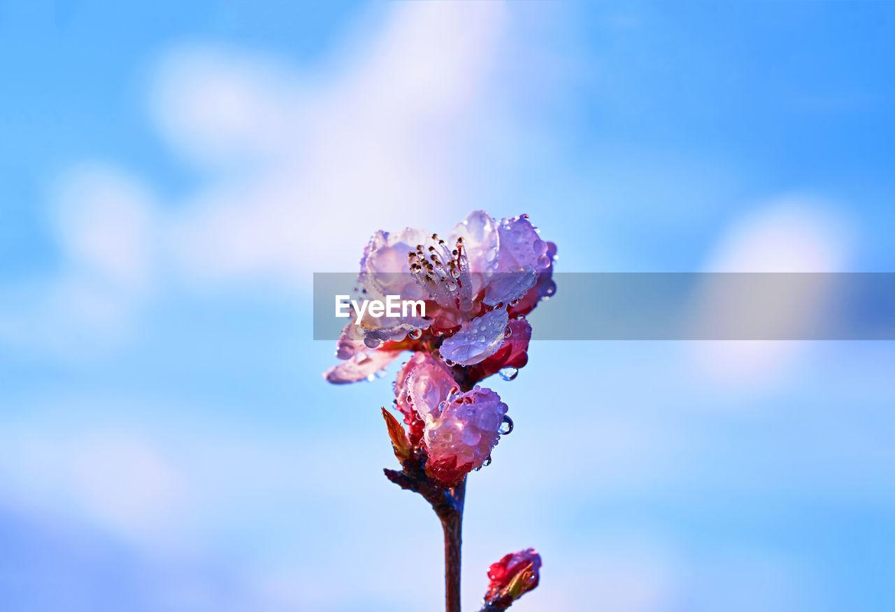 Close-Up Of Wet Cherry Blossom Against Sky