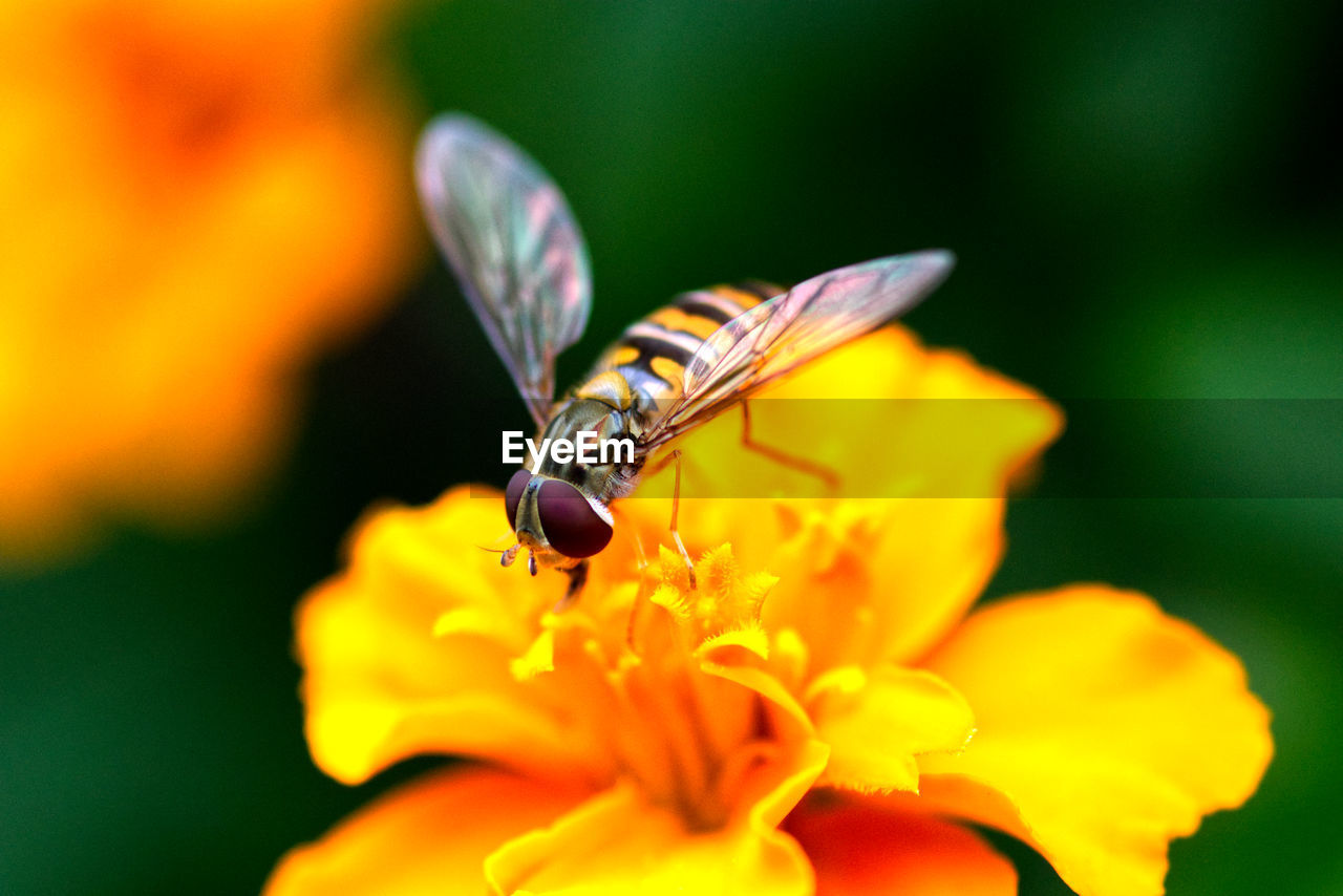 flower, flowering plant, beauty in nature, invertebrate, petal, flower head, vulnerability, fragility, plant, insect, animal wildlife, animal themes, one animal, animal, growth, animals in the wild, inflorescence, close-up, freshness, yellow, no people, pollination, animal wing, pollen, butterfly - insect
