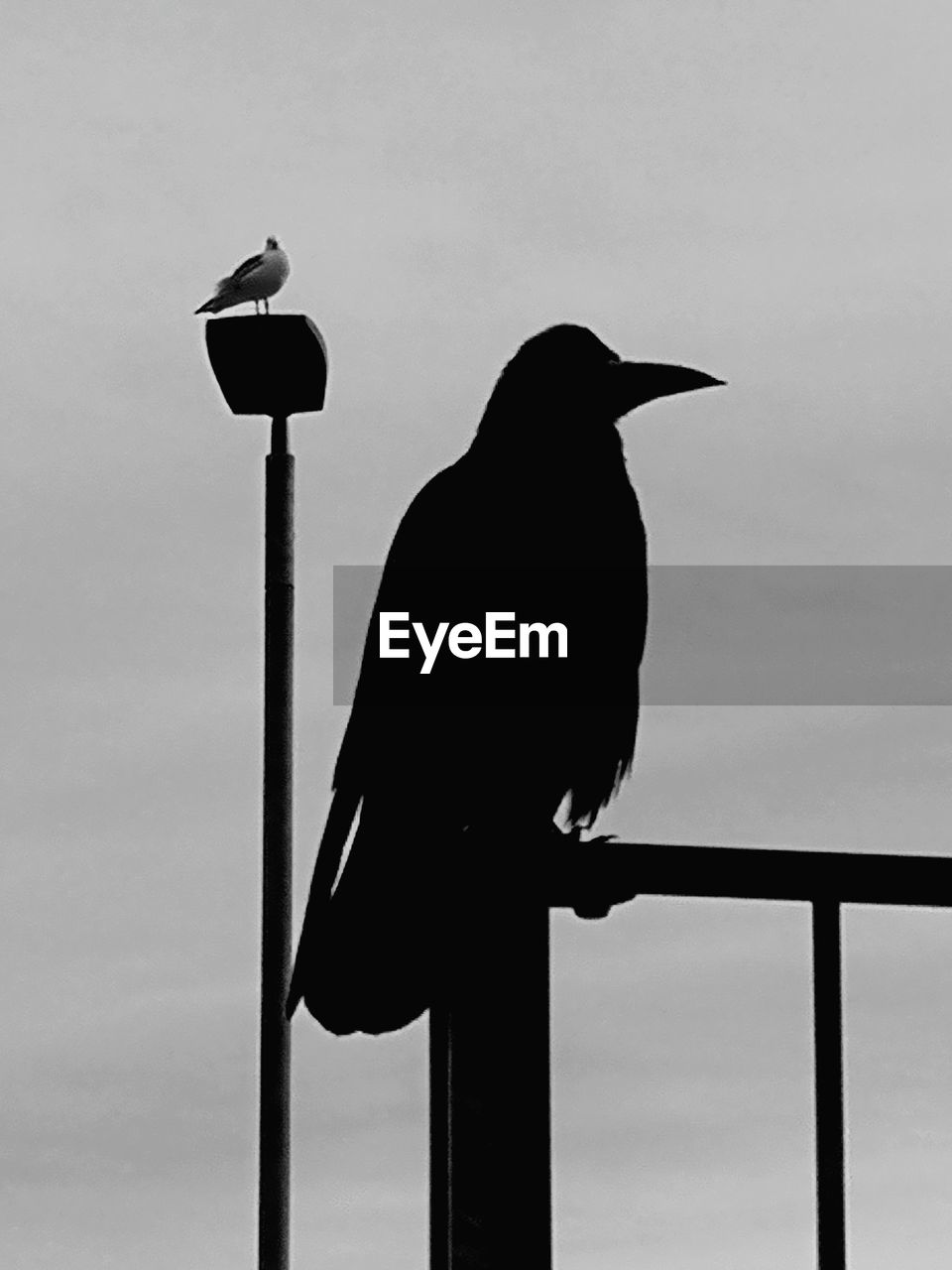 bird, vertebrate, animal themes, animal, perching, animal wildlife, animals in the wild, one animal, no people, sky, silhouette, raven - bird, day, crow, nature, low angle view, railing, outdoors, full length, pole