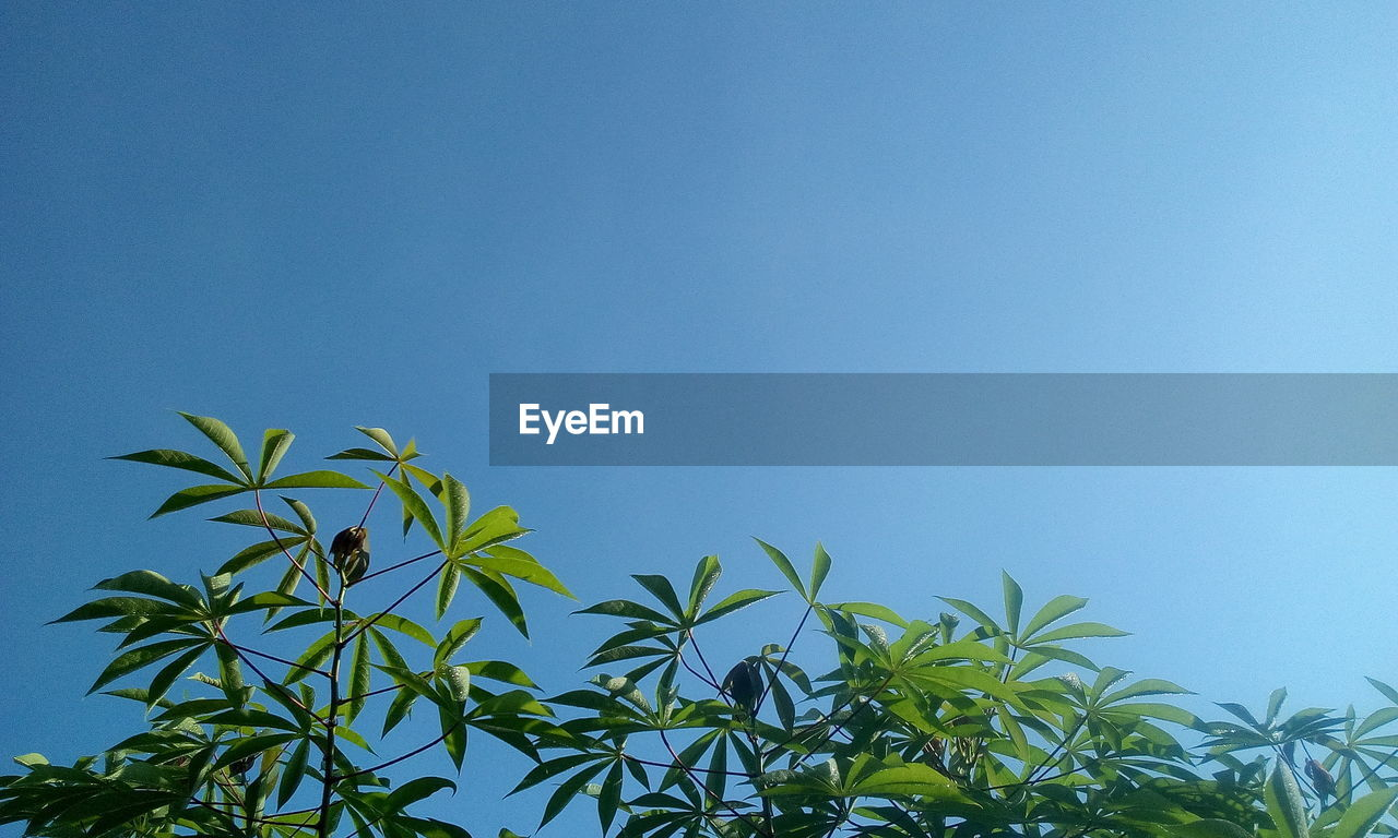 plant, growth, leaf, blue, sky, plant part, green color, clear sky, no people, copy space, beauty in nature, day, nature, low angle view, tranquility, tree, outdoors, sunlight, freshness, close-up, bamboo - plant