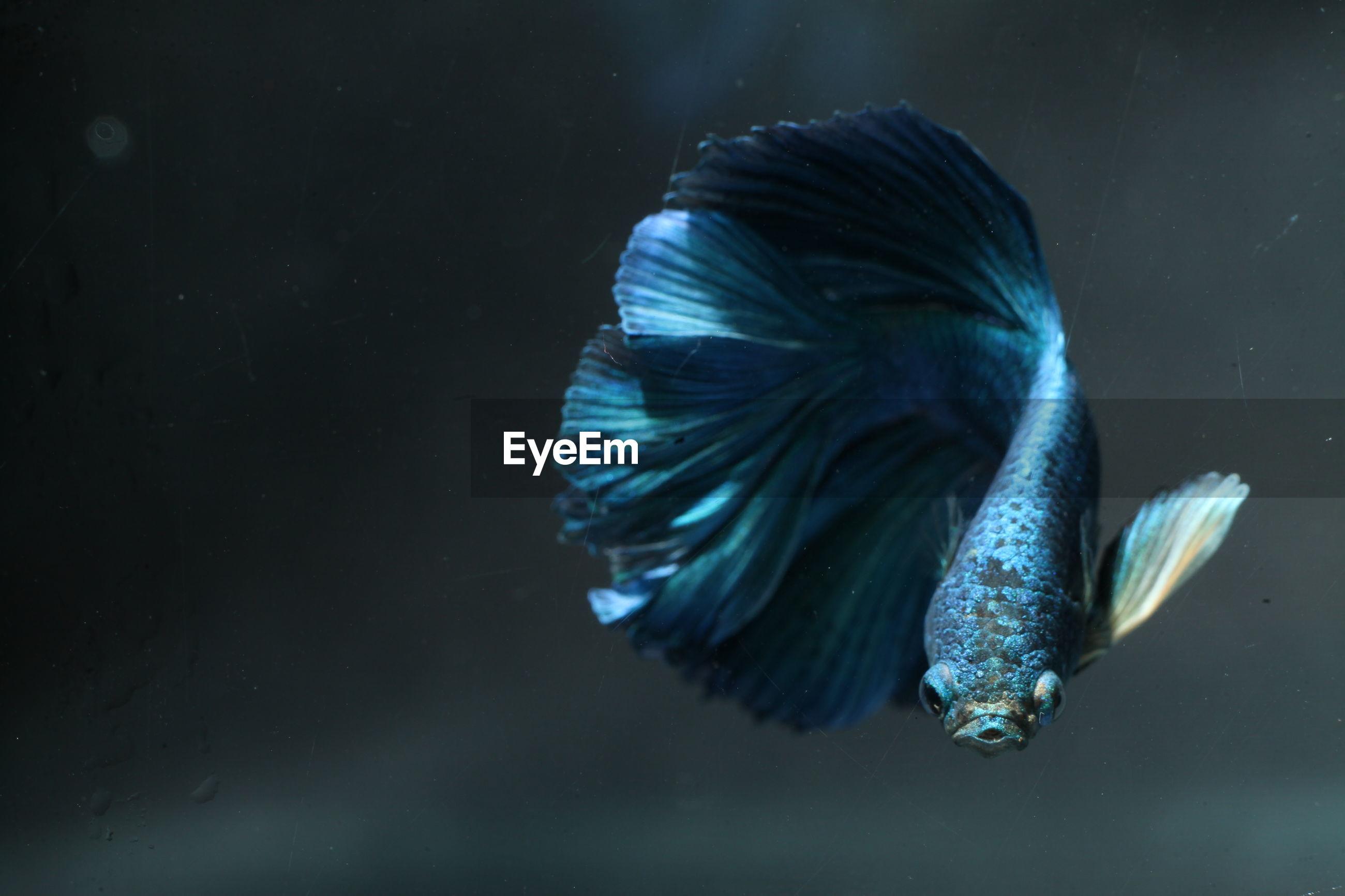 Close-up of blue siamese fighting fish swimming in aquarium