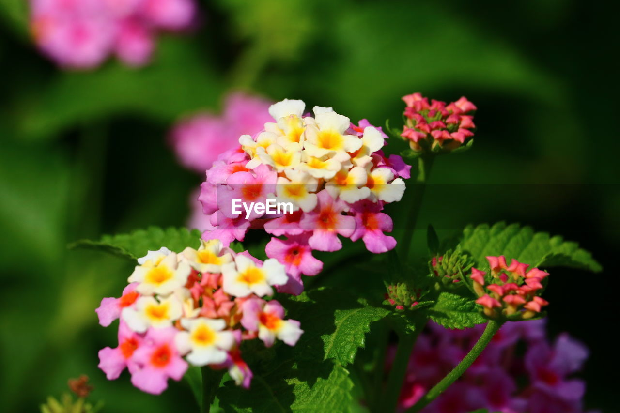 flower, fragility, freshness, beauty in nature, lantana camara, petal, nature, lantana, growth, pink color, flower head, plant, park - man made space, blooming, outdoors, focus on foreground, multi colored, day, no people, close-up