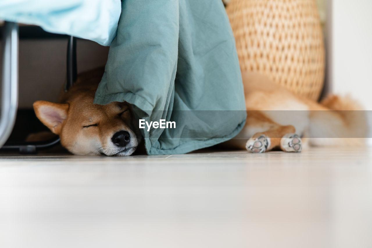 Cute shiba inu dog sleeping on wooden floor in room nordic furniture. cozy vibes