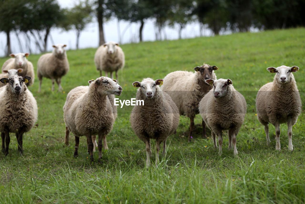 SHEEP ON FIELD