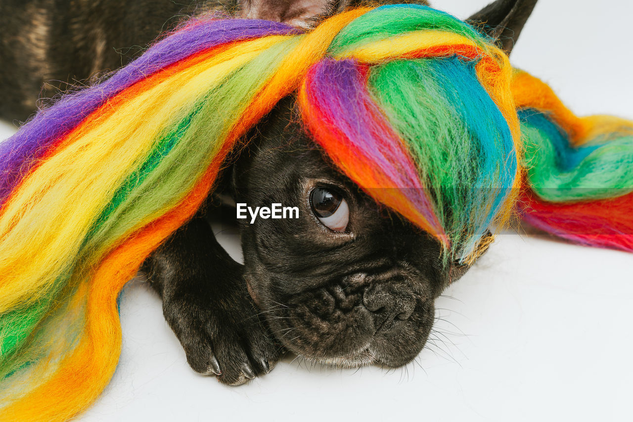 multi colored, animal themes, animal, mammal, one animal, domestic animals, pets, domestic, close-up, portrait, no people, indoors, vertebrate, looking at camera, black color, dog, canine, pug, lap dog, animal body part, animal head, small