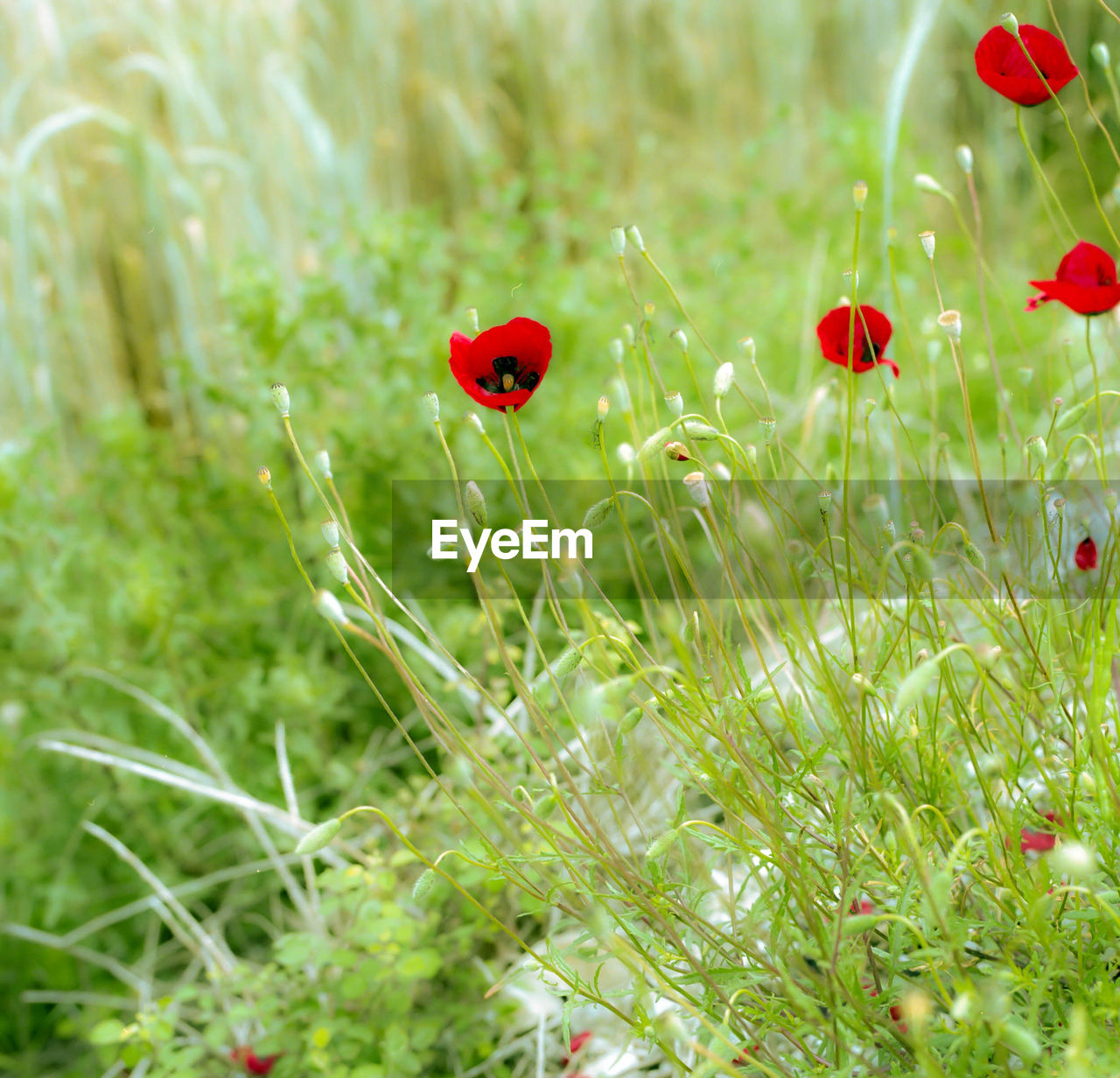 red, grass, ladybug, poppy, insect, growth, nature, flower, animal themes, field, plant, animals in the wild, green color, meadow, no people, day, outdoors, one animal, close-up, fragility, tiny, beauty in nature, freshness