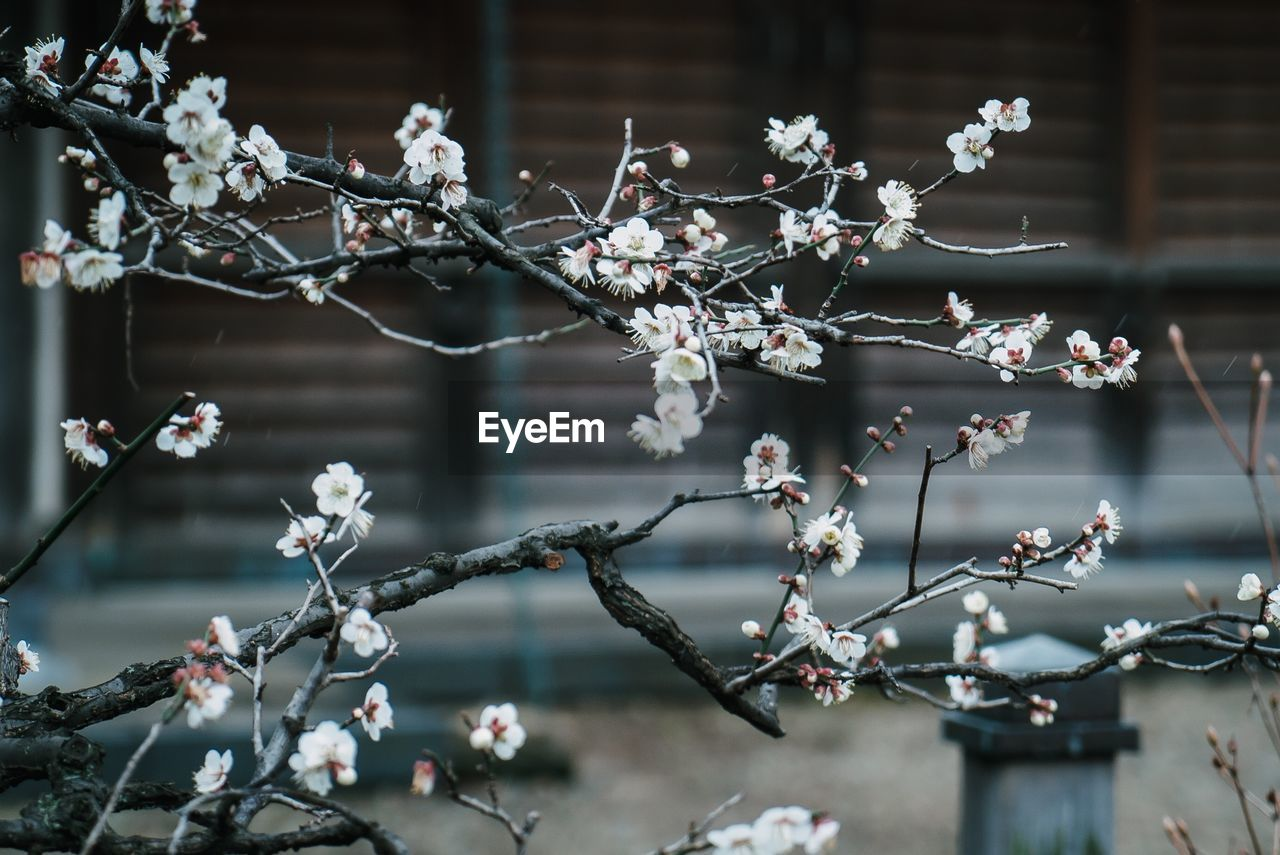 flowering plant, flower, focus on foreground, growth, plant, fragility, beauty in nature, vulnerability, day, freshness, tree, close-up, nature, blossom, springtime, no people, branch, outdoors, white color, cherry blossom, flower head, cherry tree, plum blossom, spring