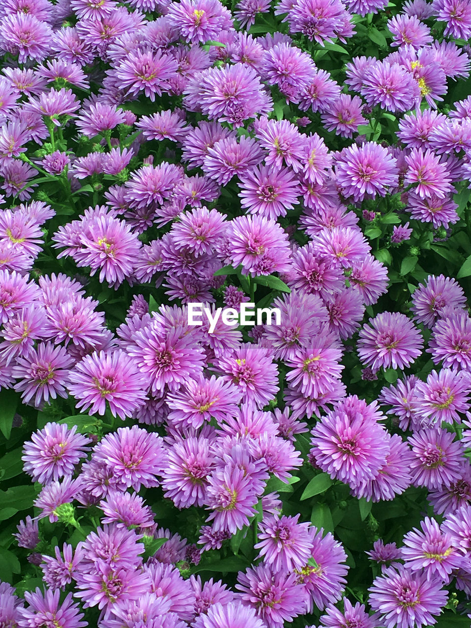flower, petal, fragility, backgrounds, beauty in nature, freshness, flower head, purple, full frame, no people, growth, nature, high angle view, plant, blooming, pink color, day, abundance, outdoors, osteospermum, close-up