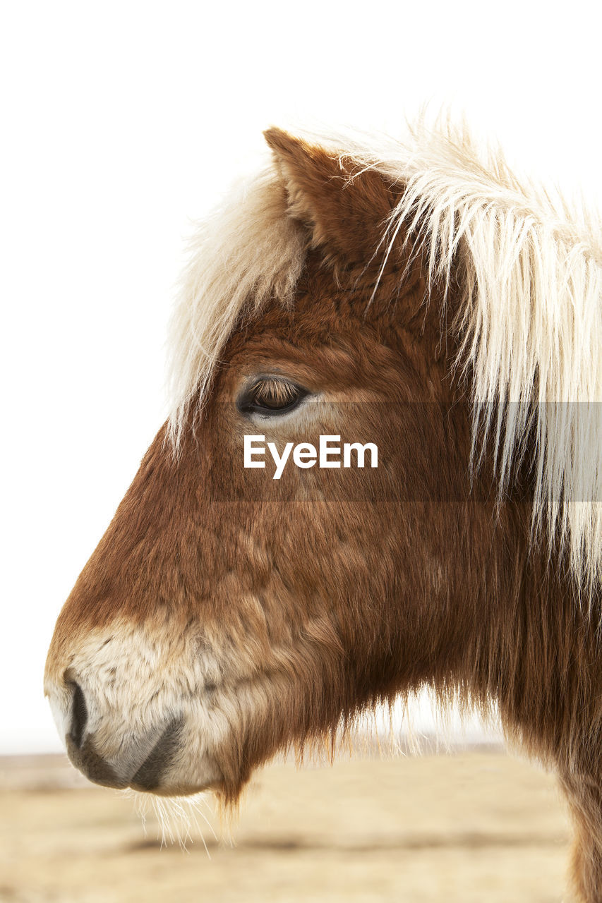 one animal, domestic animals, animal themes, horse, mammal, close-up, livestock, no people, white background, day, outdoors