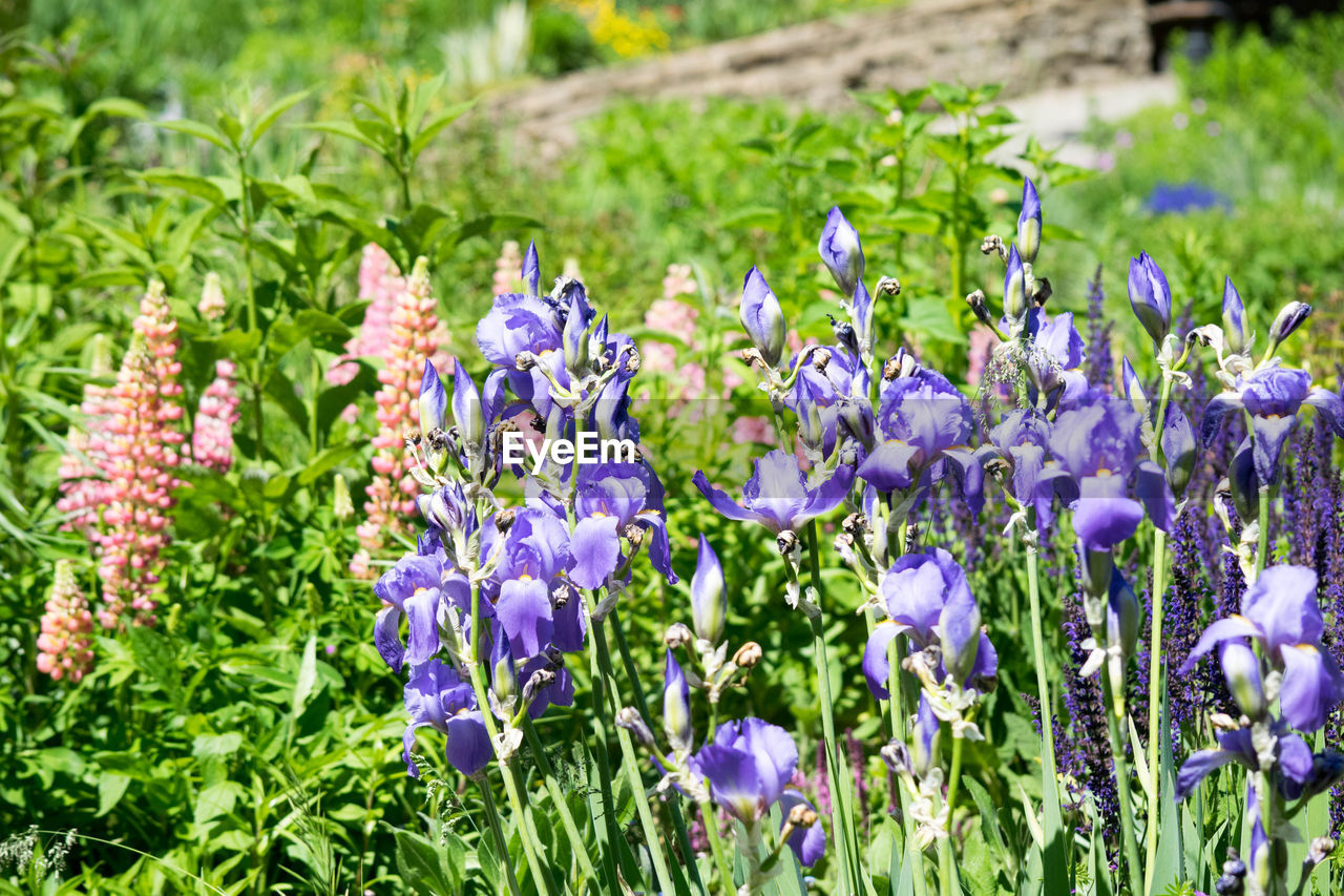 flower, growth, plant, purple, nature, green color, beauty in nature, no people, outdoors, day, fragility, field, freshness, close-up, flower head, grass