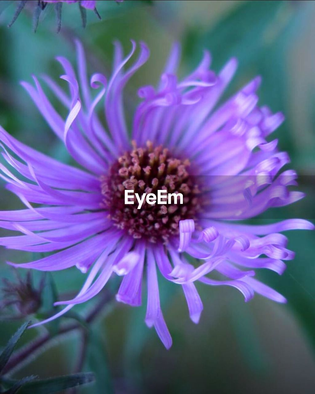 flower, fragility, petal, flower head, beauty in nature, growth, nature, purple, freshness, plant, focus on foreground, no people, close-up, blooming, day, outdoors, passion flower