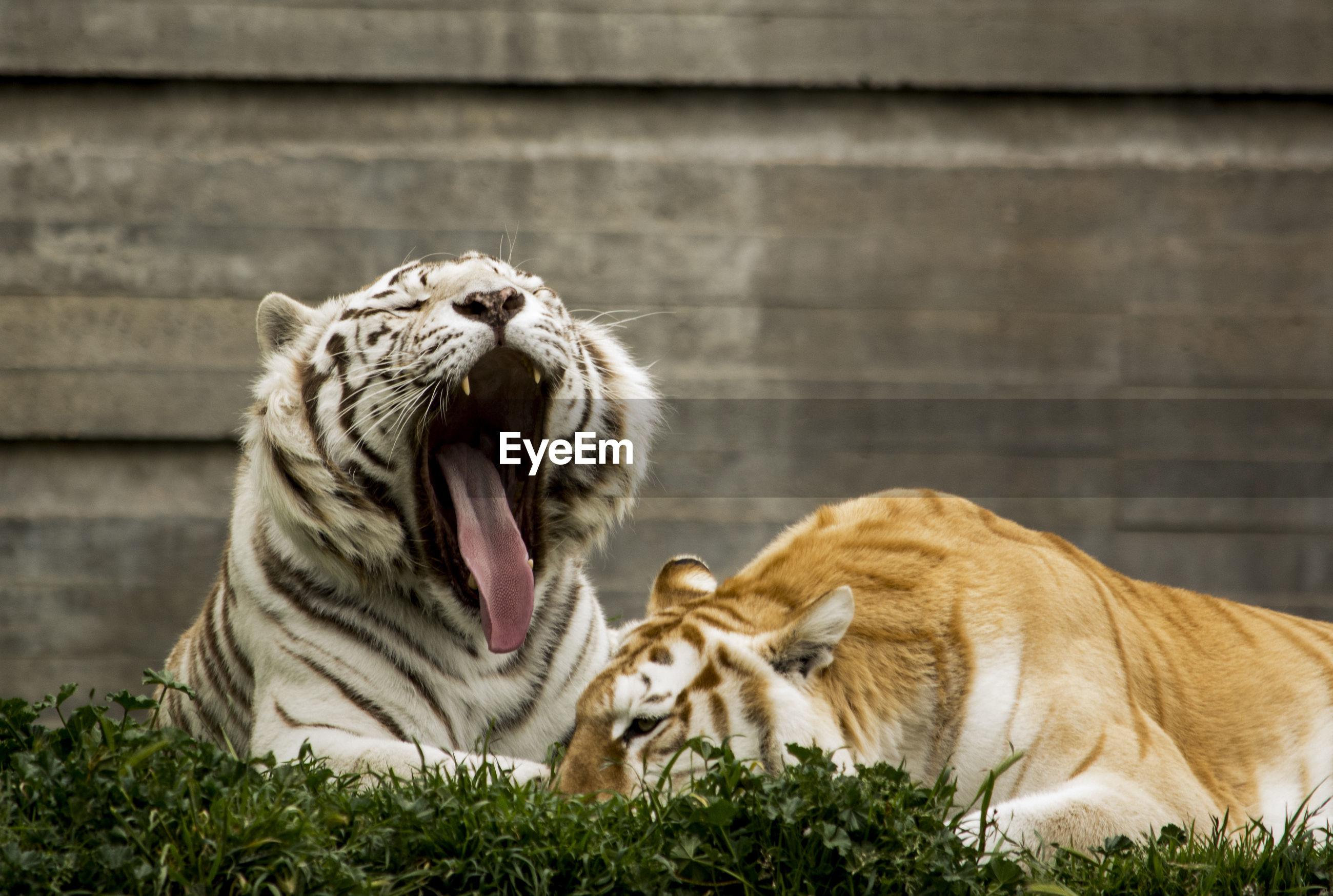 Tigers sitting on grass