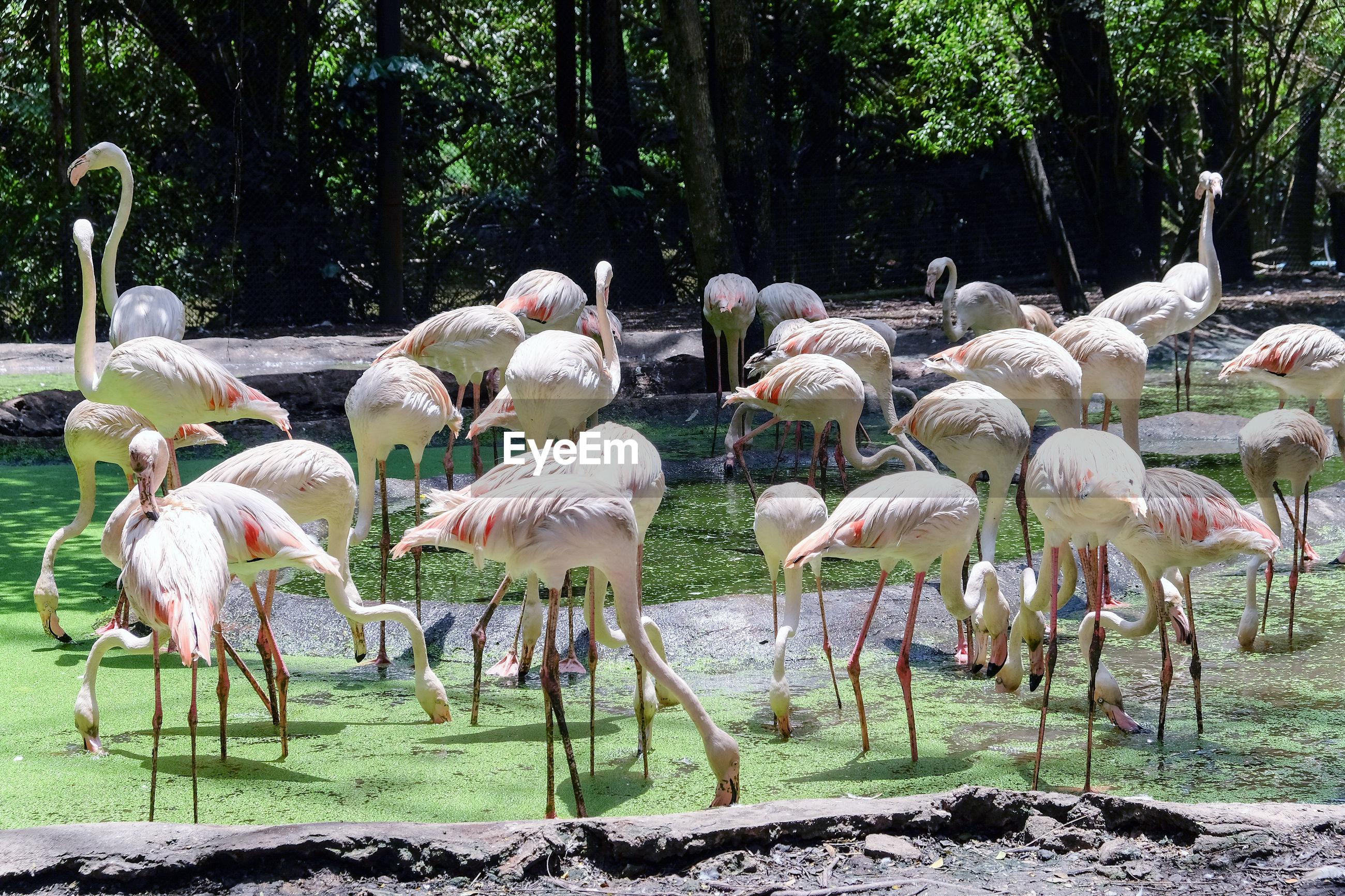 Flamingoes perching at lake