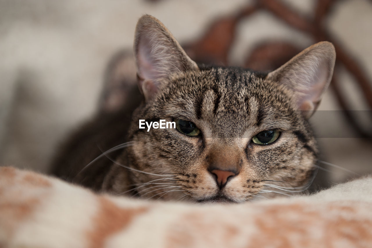 cat, domestic cat, mammal, domestic animals, pets, feline, domestic, animal themes, one animal, animal, vertebrate, looking at camera, close-up, portrait, selective focus, relaxation, whisker, no people, indoors, animal body part, tabby, animal head, animal eye