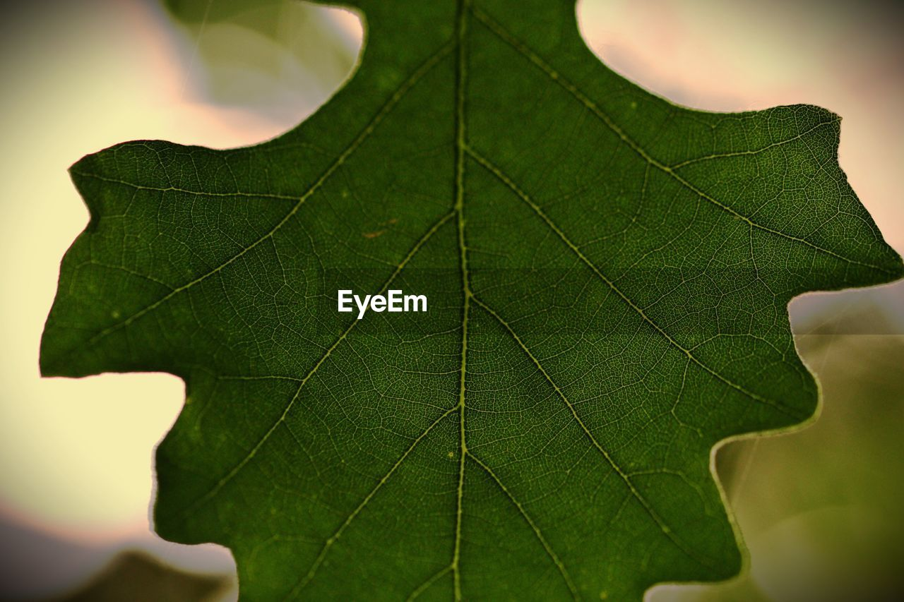 leaf, plant part, green color, close-up, leaf vein, nature, plant, day, focus on foreground, beauty in nature, natural pattern, autumn, no people, outdoors, leaves, selective focus, change, growth, fragility, maple leaf