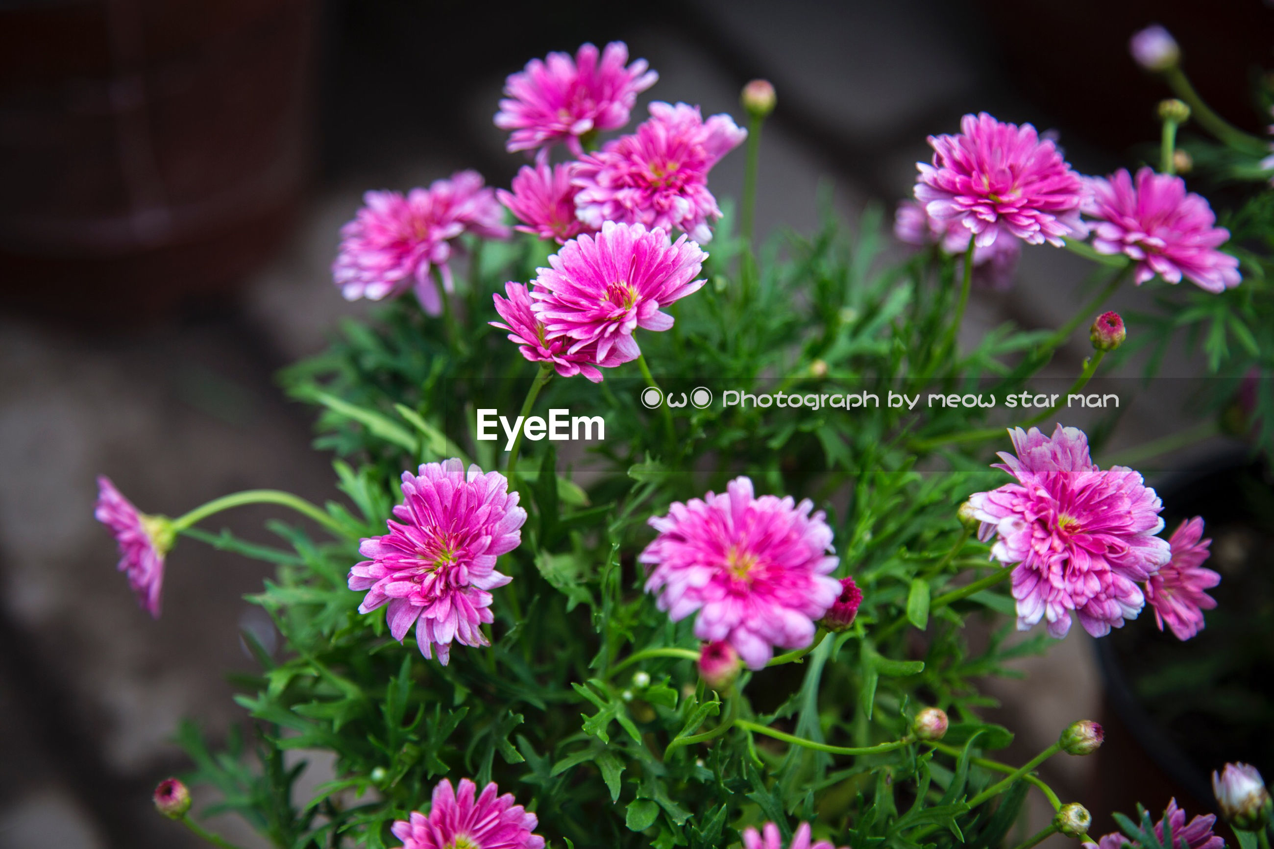 flower, freshness, pink color, fragility, petal, growth, beauty in nature, focus on foreground, flower head, close-up, nature, blooming, pink, plant, in bloom, selective focus, stem, outdoors, blossom, day