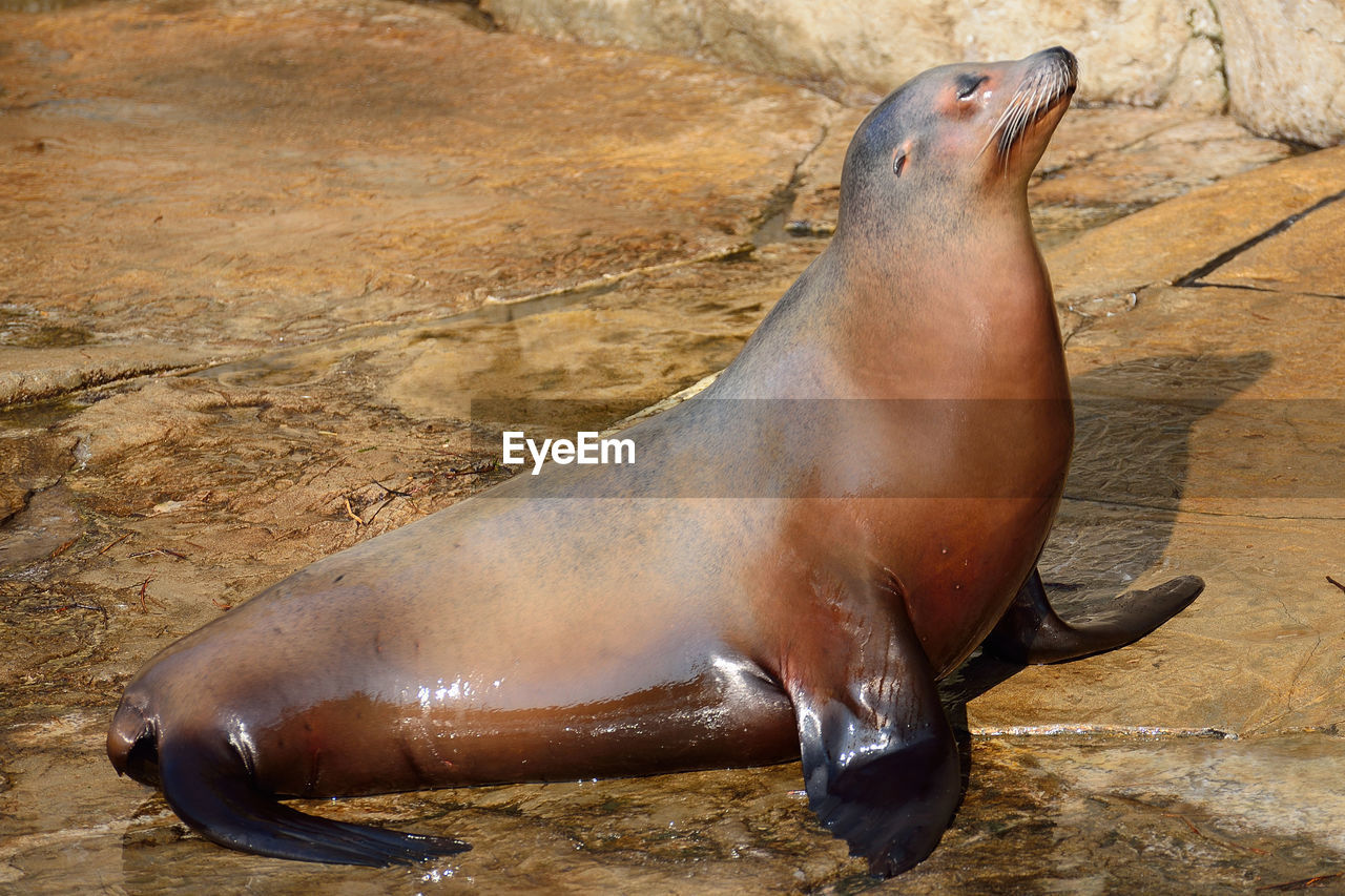 High angle view of wet sea lion on shore