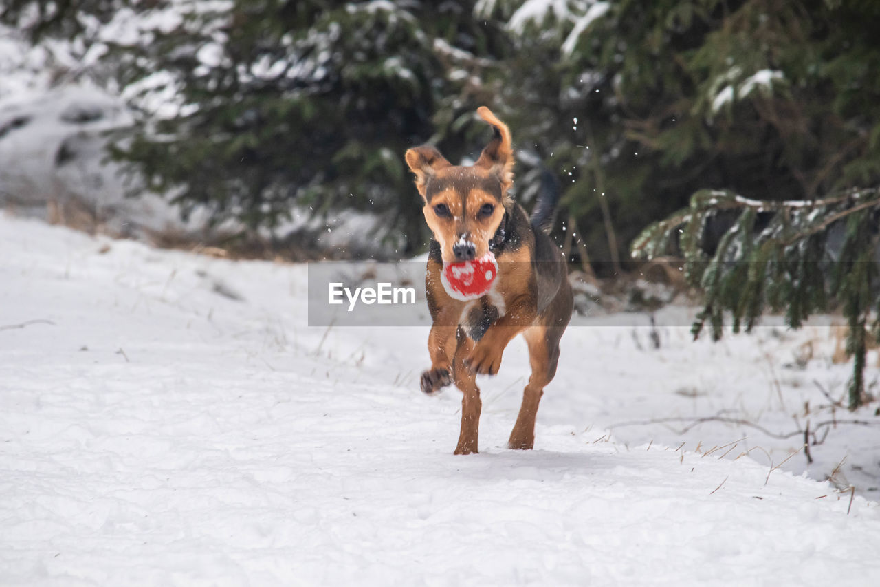 Dog running on snow covered land