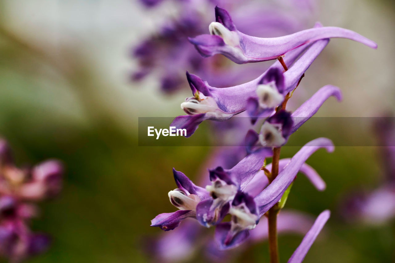 flower, flowering plant, fragility, vulnerability, plant, beauty in nature, growth, petal, freshness, purple, close-up, no people, inflorescence, flower head, selective focus, nature, focus on foreground, day, botany, outdoors, lavender