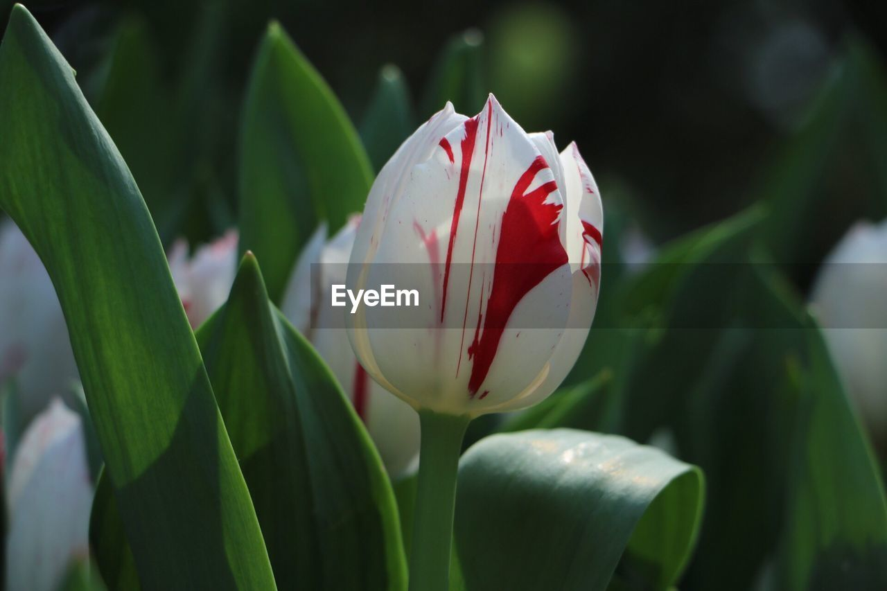 flower, petal, beauty in nature, growth, freshness, fragility, nature, leaf, flower head, white color, plant, no people, day, green color, focus on foreground, close-up, outdoors, blooming