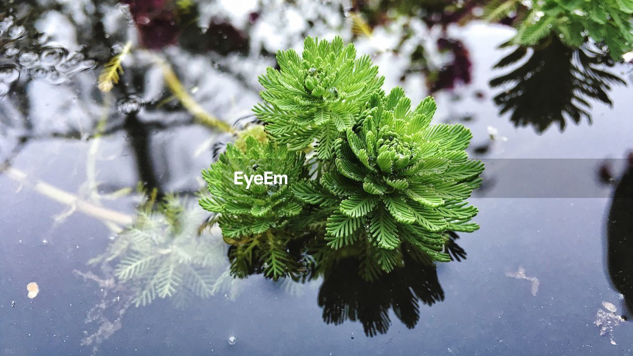 plant, green color, water, nature, growth, no people, day, tree, winter, leaf, snow, cold temperature, close-up, plant part, beauty in nature, focus on foreground, outdoors, frozen, pine tree, coniferous tree, fir tree