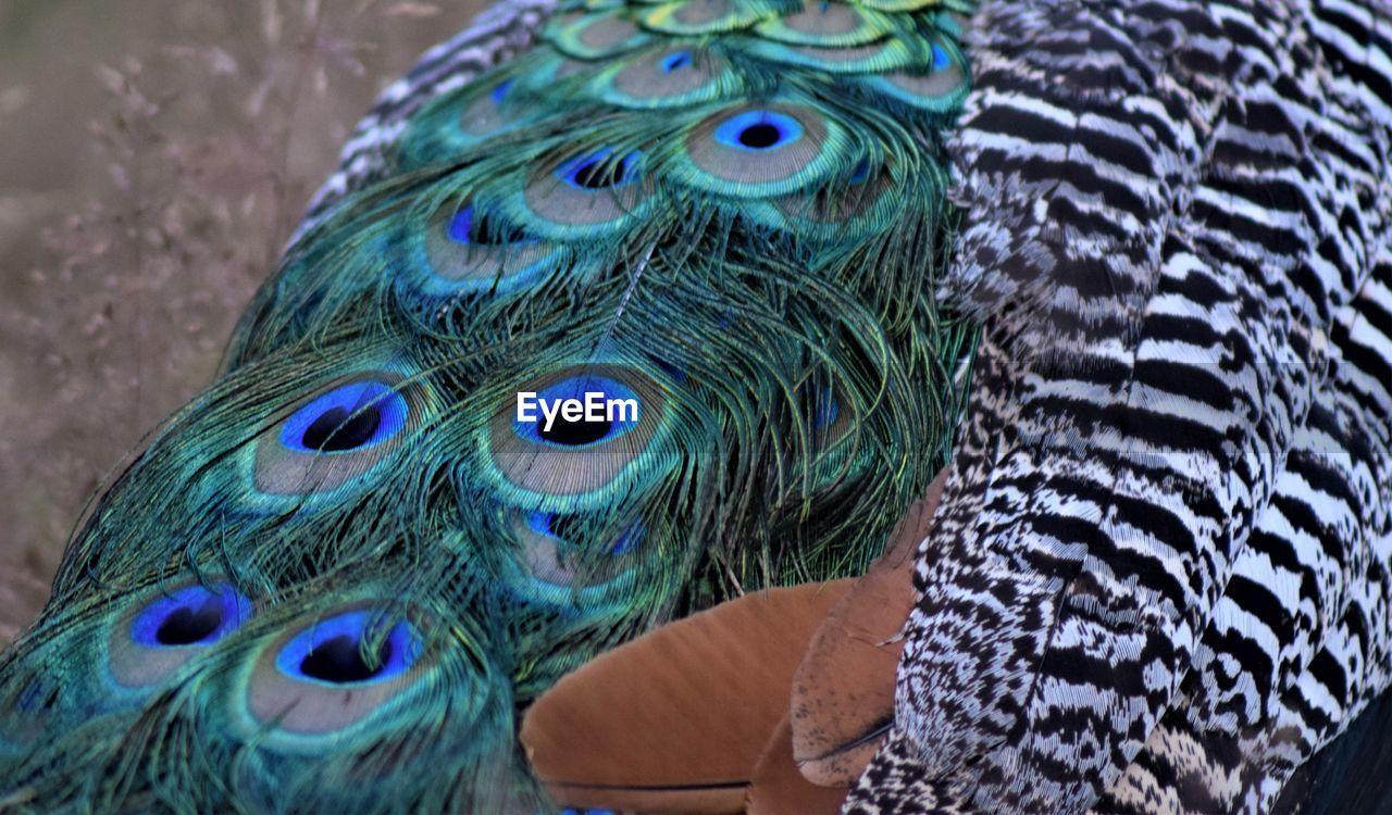 animal, animal themes, bird, close-up, peacock, peacock feather, one animal, vertebrate, feather, animal wildlife, animal body part, no people, animals in the wild, day, multi colored, animal head, blue, natural pattern, focus on foreground, beak, animal eye, animal neck