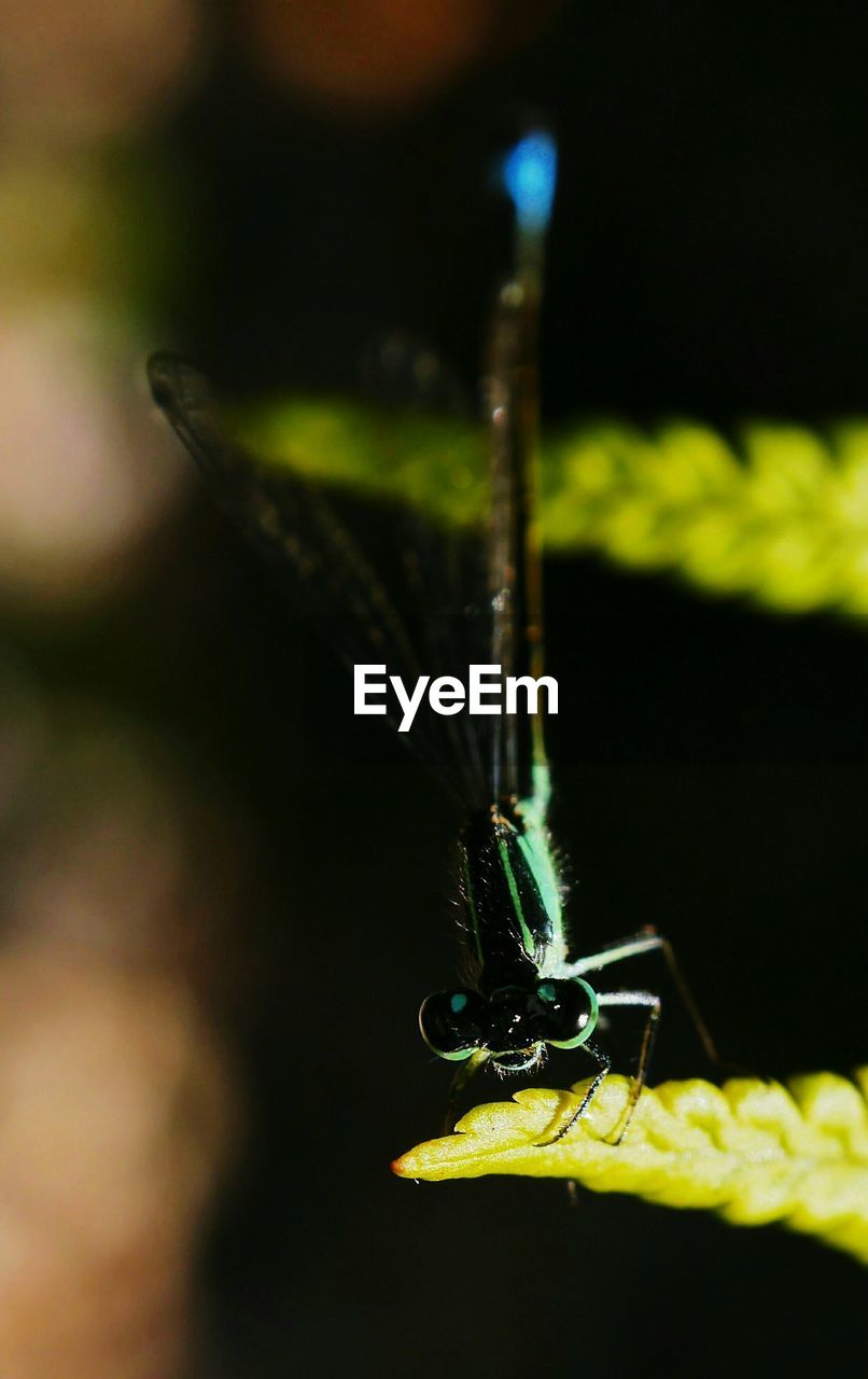 insect, one animal, animal themes, animals in the wild, close-up, focus on foreground, no people, green color, animal wildlife, outdoors, damselfly, nature, day