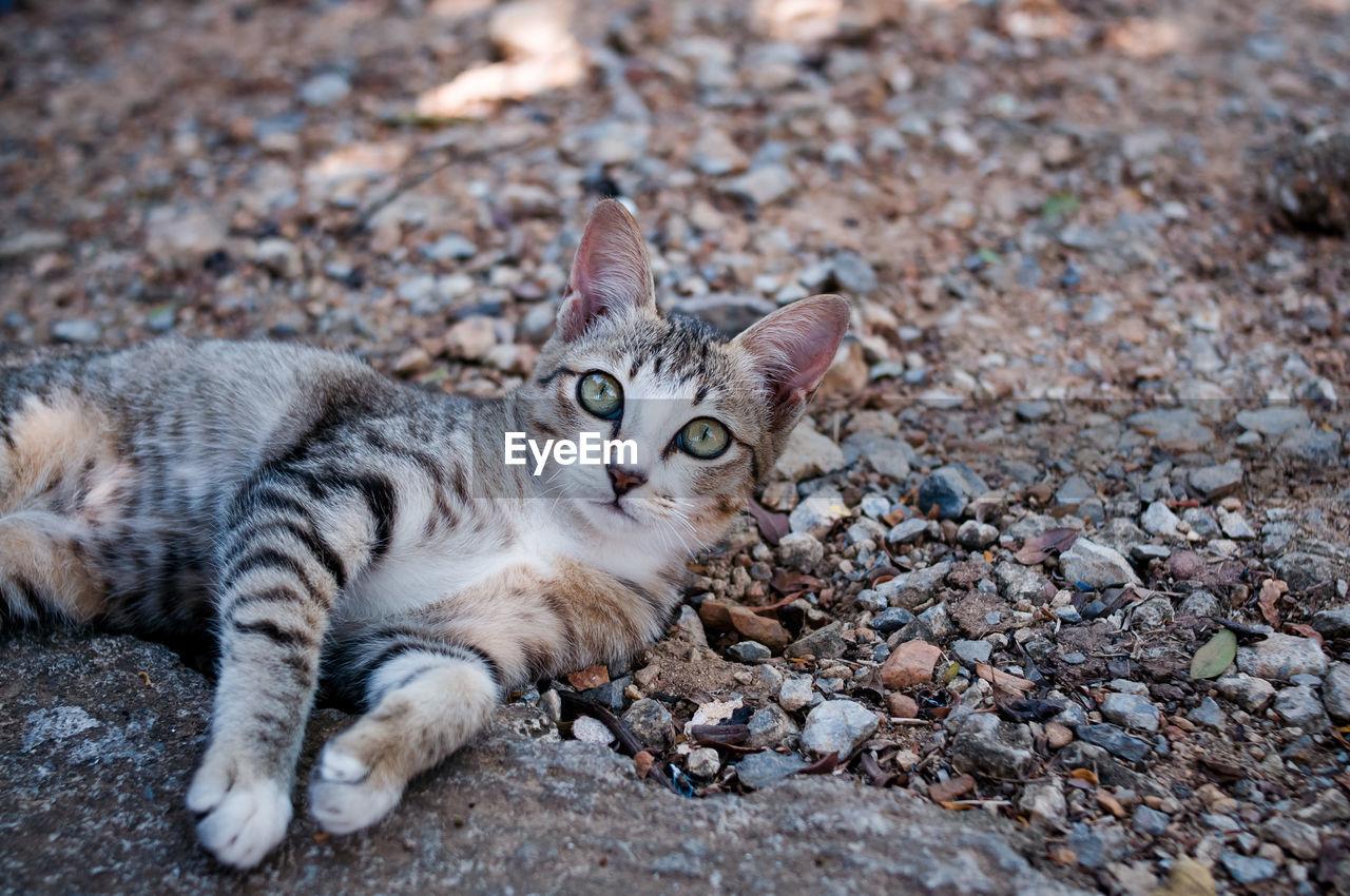PORTRAIT OF TABBY CAT LYING ON PEBBLES