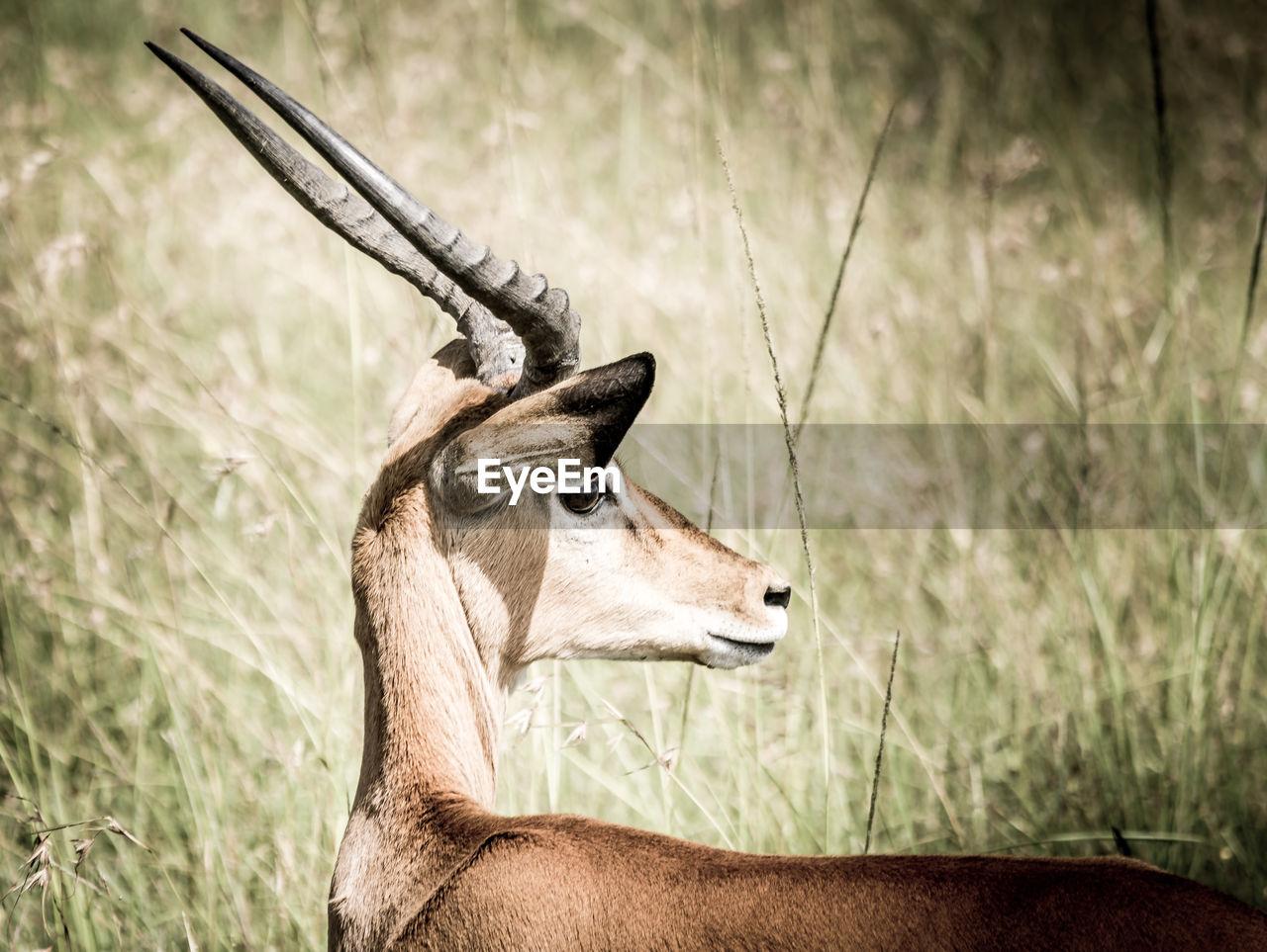 A profile, fine art portrait shot of a gazelle