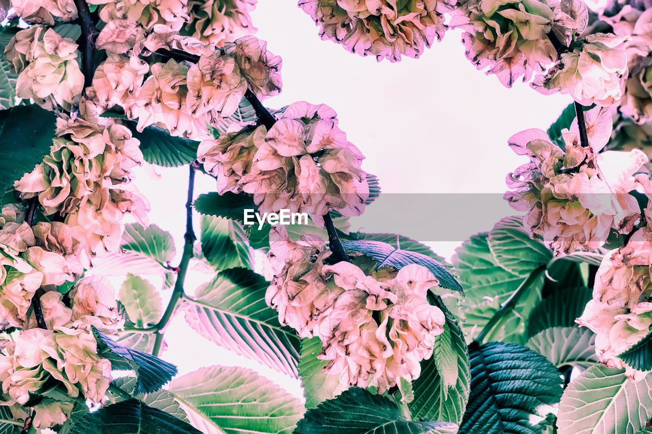 flowering plant, flower, plant, beauty in nature, growth, fragility, vulnerability, freshness, pink color, close-up, petal, nature, no people, low angle view, day, plant part, leaf, blossom, outdoors, botany, springtime, flower head, bunch of flowers, cherry blossom, lilac