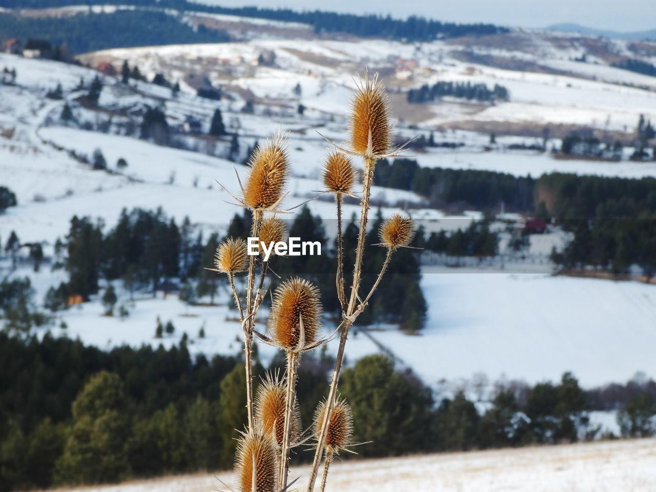 Close-up of plant with field in the background during winter