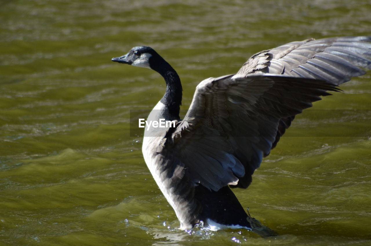 bird, animal, animals in the wild, vertebrate, animal wildlife, animal themes, water, one animal, lake, spread wings, no people, day, flying, nature, water bird, focus on foreground, black color, motion, outdoors, beak, flapping