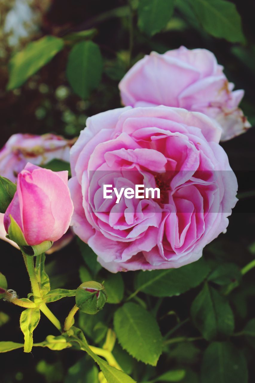 pink color, plant, flower, flowering plant, beauty in nature, freshness, vulnerability, petal, close-up, fragility, rose, flower head, inflorescence, nature, rose - flower, growth, no people, leaf, plant part, day, outdoors, flower arrangement
