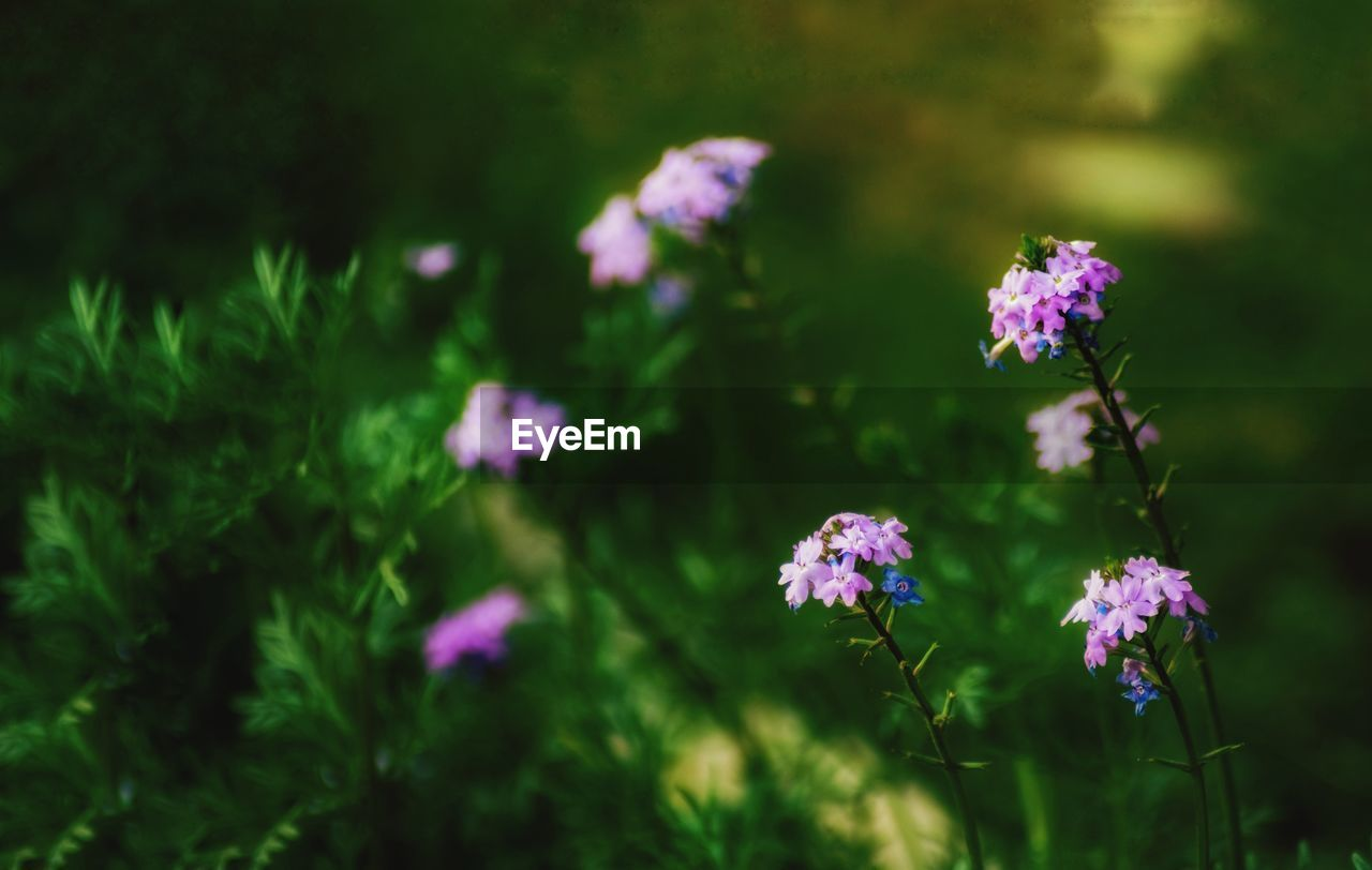 flower, flowering plant, plant, beauty in nature, vulnerability, fragility, freshness, growth, nature, purple, day, petal, flower head, no people, selective focus, inflorescence, pink color, field, close-up, land, outdoors