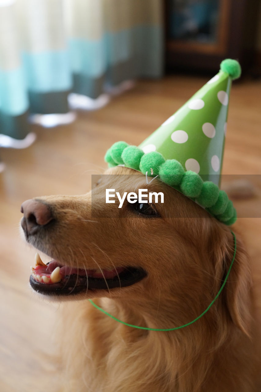 Close-up of dog wearing party hat while sitting at home