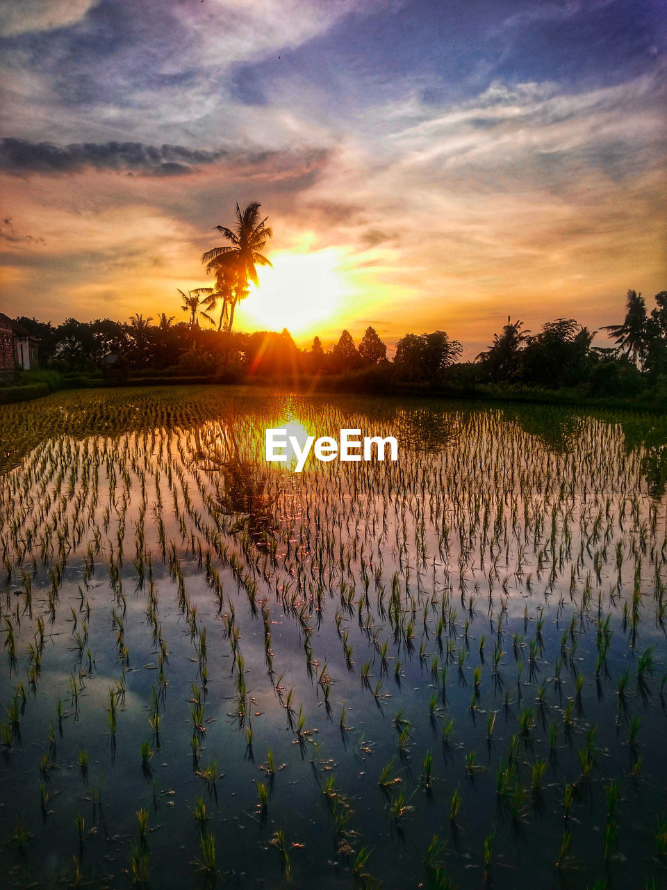 sunset, sky, beauty in nature, scenics - nature, plant, tranquil scene, cloud - sky, tranquility, nature, water, rural scene, orange color, landscape, land, agriculture, growth, field, rice - cereal plant, rice paddy, no people, outdoors, plantation