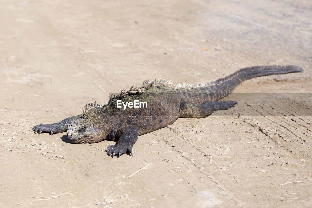 animal themes, one animal, animal, reptile, animals in the wild, animal wildlife, vertebrate, lizard, nature, day, no people, sunlight, land, high angle view, sand, focus on foreground, outdoors, zoology, iguana, beach, arid climate, animal scale