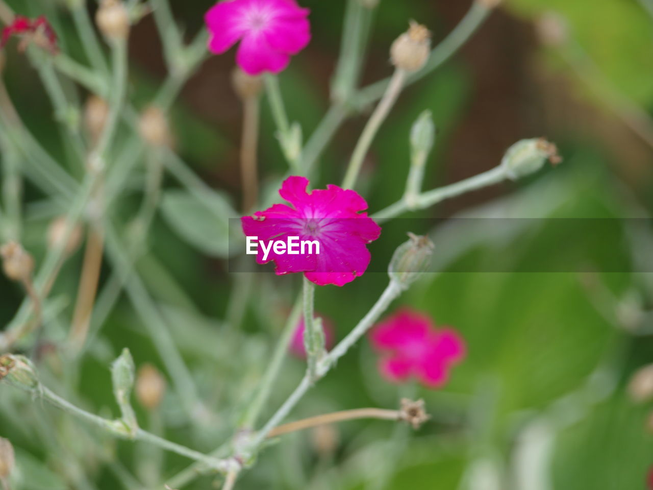 flower, fragility, growth, pink color, nature, petal, flower head, day, beauty in nature, blooming, freshness, plant, outdoors, no people, green color, focus on foreground, close-up, periwinkle