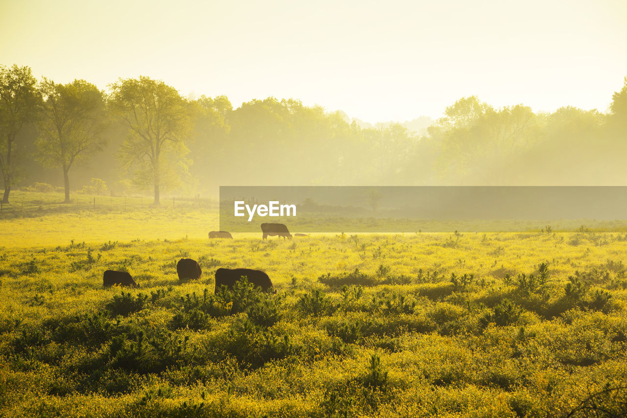plant, field, animal, animal themes, mammal, landscape, land, group of animals, tree, environment, sky, domestic animals, vertebrate, tranquil scene, grass, tranquility, nature, beauty in nature, livestock, scenics - nature, no people, outdoors, herd, herbivorous