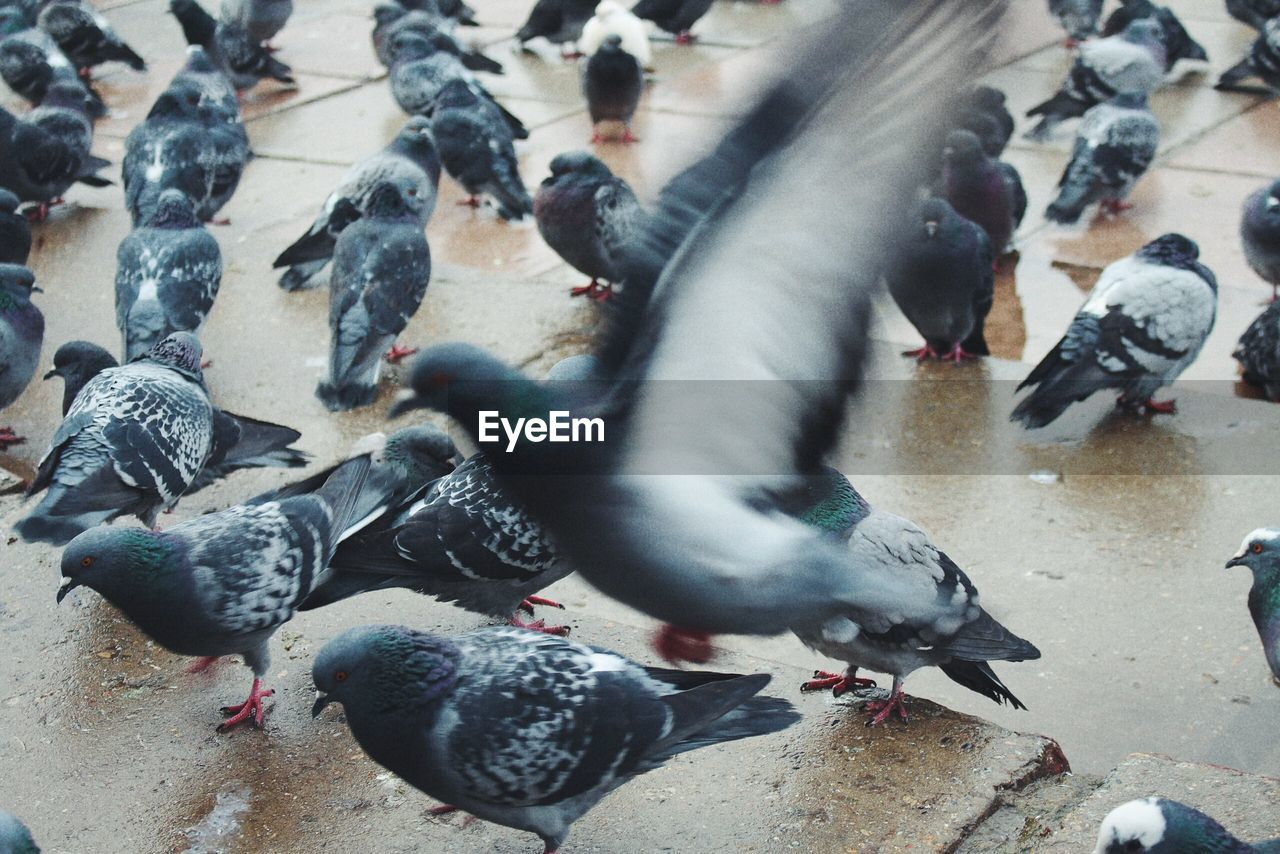 pigeon, group of animals, animal wildlife, bird, animals in the wild, animal themes, vertebrate, animal, large group of animals, blurred motion, high angle view, flock of birds, city, nature, motion, day, street, eating, no people, outdoors