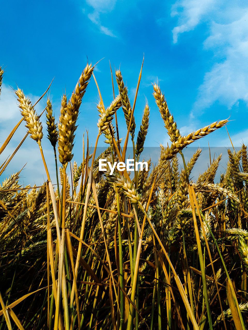 growth, plant, sky, beauty in nature, tranquility, agriculture, field, cereal plant, nature, day, crop, farm, rural scene, no people, landscape, cloud - sky, land, close-up, blue, sunlight, outdoors, stalk