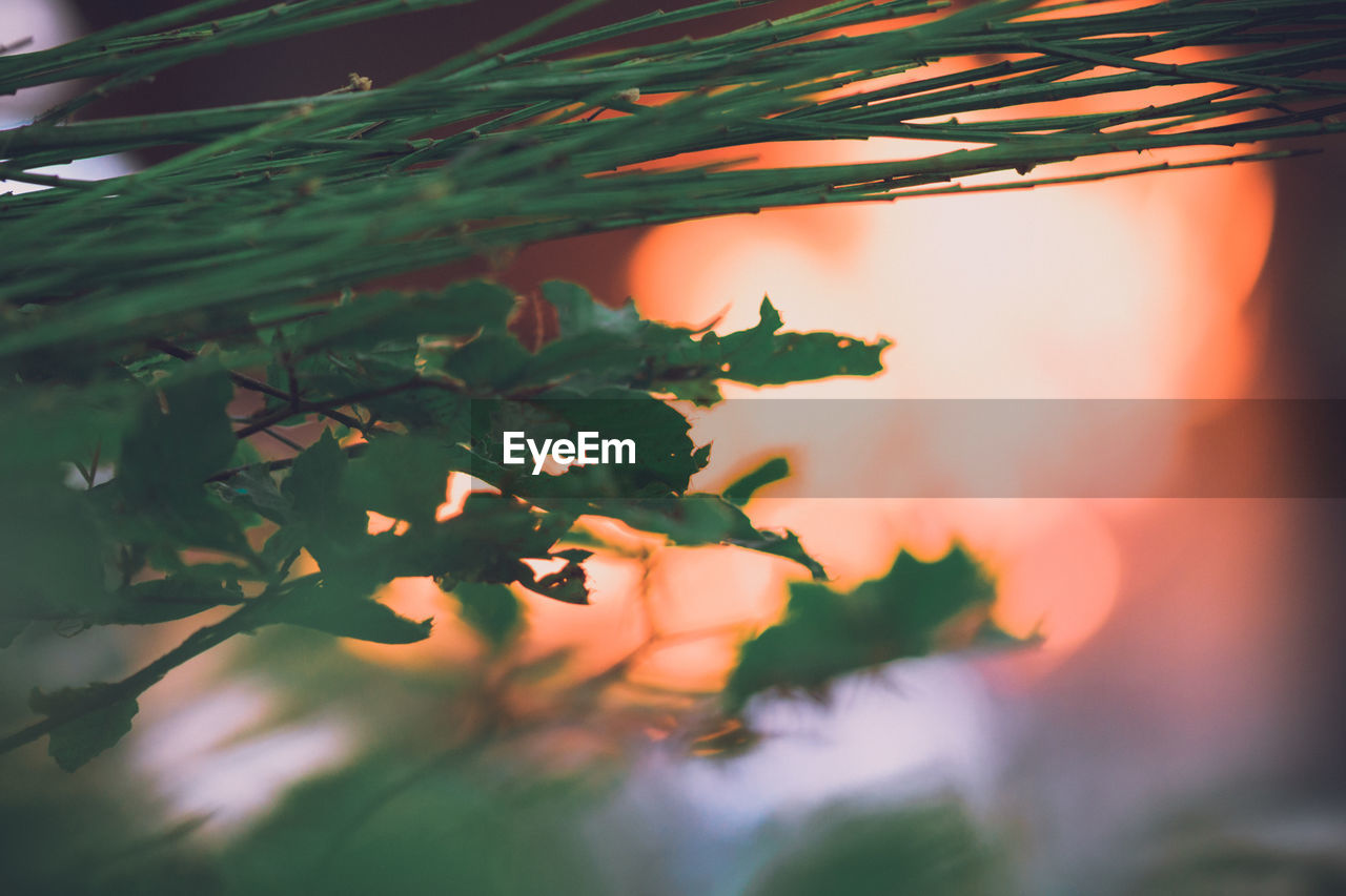 nature, growth, outdoors, plant, tree, no people, beauty in nature, sunset, day, close-up, sky