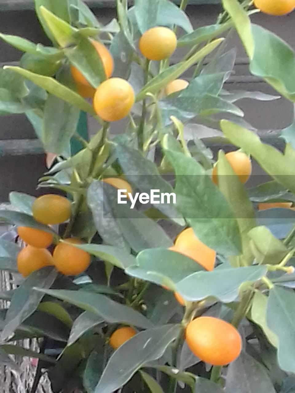 fruit, food and drink, orange - fruit, freshness, citrus fruit, food, leaf, growth, orange color, healthy eating, no people, day, green color, outdoors, close-up, orange tree, nature, plant, tree, beauty in nature