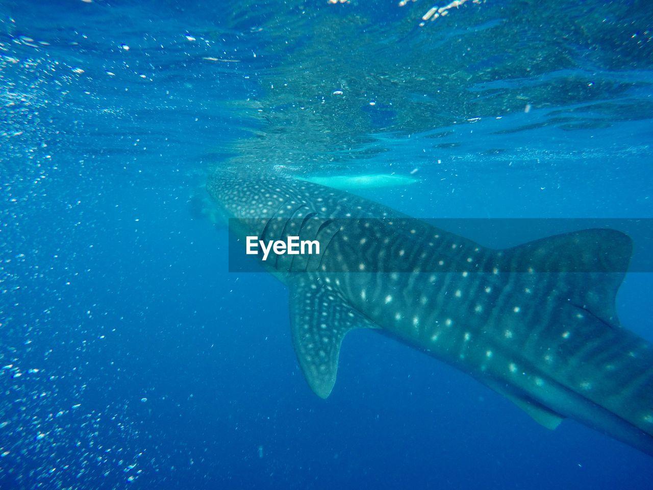 underwater, sea, water, animals in the wild, animal, undersea, animal wildlife, whale shark, swimming, animal themes, fish, sea life, shark, one animal, marine, blue, vertebrate, nature, no people, outdoors
