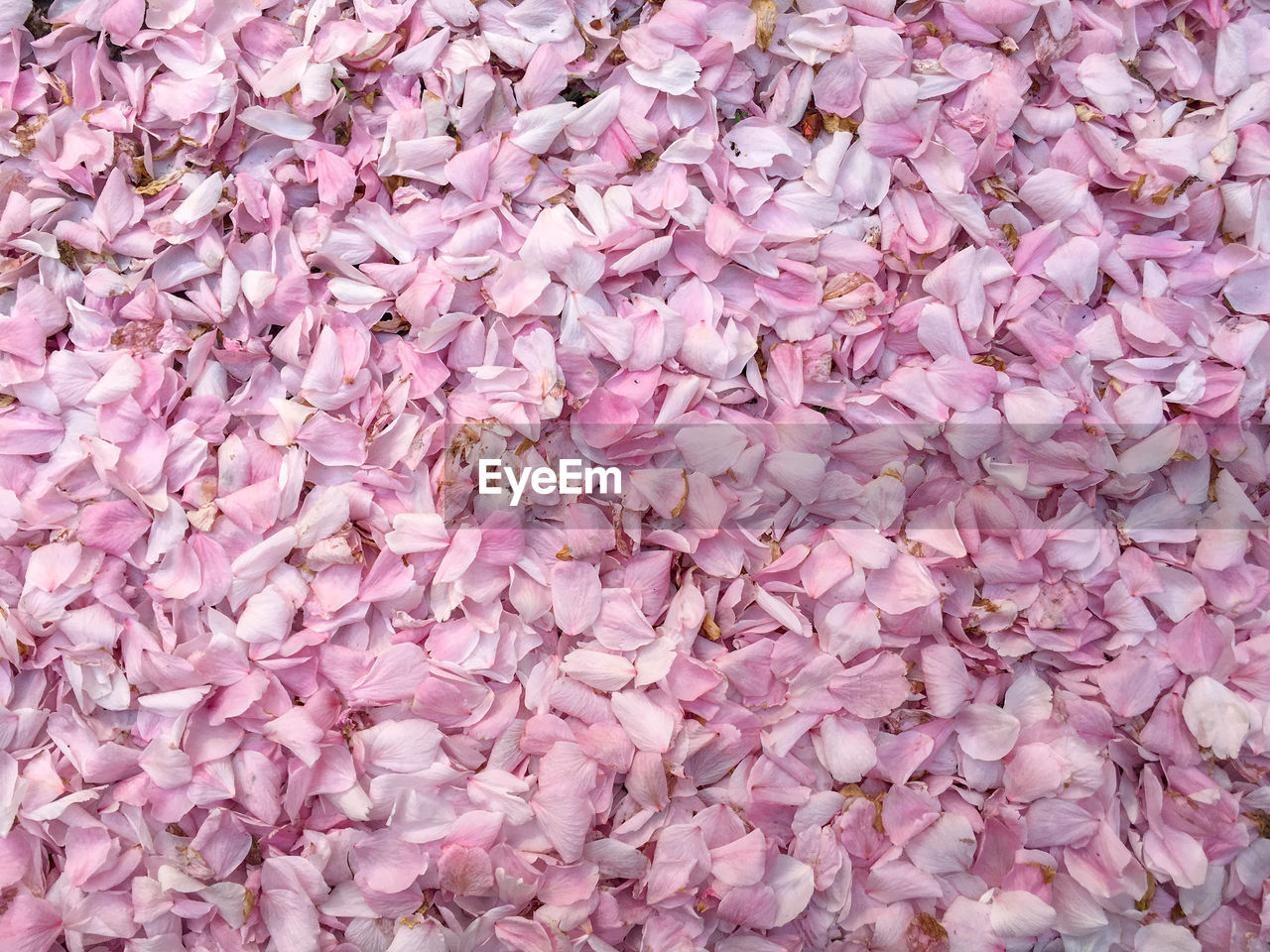 pink color, full frame, backgrounds, abundance, no people, flower, flowering plant, freshness, close-up, large group of objects, beauty in nature, plant, vulnerability, petal, fragility, nature, inflorescence, flower head, high angle view, softness, purple, lilac