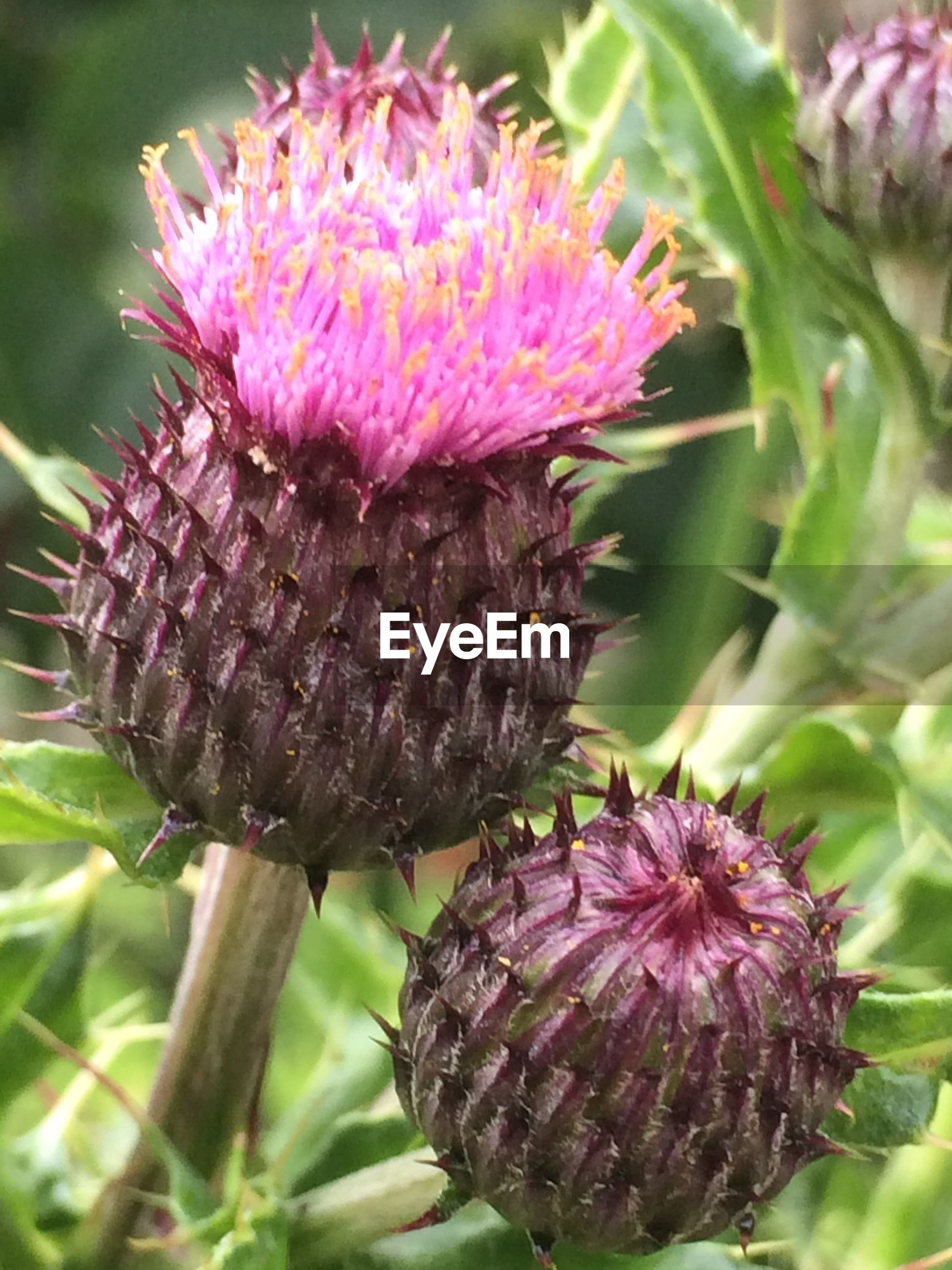flower, growth, close-up, focus on foreground, nature, plant, freshness, fragility, beauty in nature, pink color, animals in the wild, insect, wildlife, thistle, day, outdoors, leaf, animal themes, natural pattern, selective focus